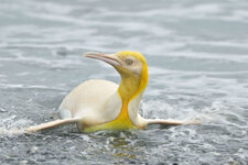 KNM_FIRST_EVER_YELLOW_PENGUIN_1-800x534.jpg