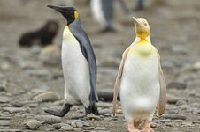 0_PAY-KNM_FIRST_EVER_YELLOW_PENGUIN_2.jpg