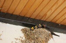 Swallows on the terrace. modjpg.jpg